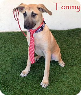 Labrador Retriever/Shepherd (Unknown Type) Mix Puppy for adoption in San Diego, California - Tommy
