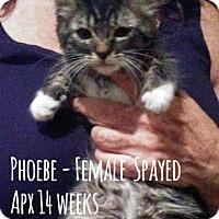 Adopt A Pet :: Phoebe - Glendale, AZ