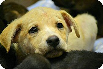 Labrador Retriever Mix Puppy for adoption in Boca Raton, Florida - Chive