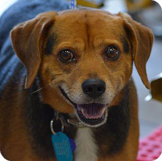 Beagle Mix Dog for adoption in Waldorf, Maryland - Sammy Caroline
