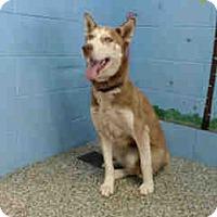 Siberian Husky Dog for adoption in San Bernardino, California - URGENT ON 10/18 San Bernardino