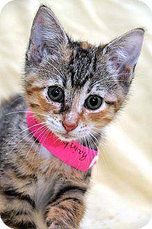 Domestic Shorthair Kitten for adoption in Fort Leavenworth, Kansas - Rainbow Dash