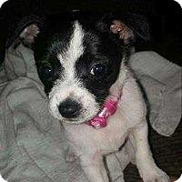 Chihuahua Mix Dog for adoption in Mackinaw, Illinois - Oreo the dog