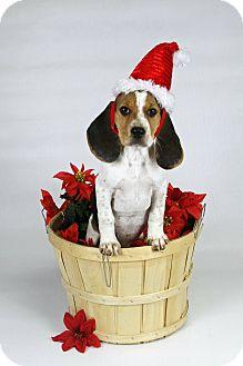 Coonhound/Basset Hound Mix Puppy for adoption in Joliet, Illinois - Miley