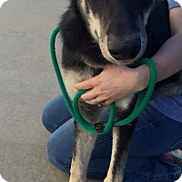 German Shepherd Dog Mix Dog for adoption in Nashua, New Hampshire - Keegan