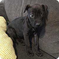 Adopt A Pet :: Shadow - Austin, TX