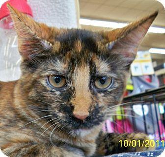 Domestic Shorthair Cat for adoption in Sacramento, California - Sunshine W