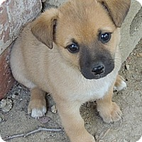 Adopt A Pet :: Lindsey - La Habra Heights, CA