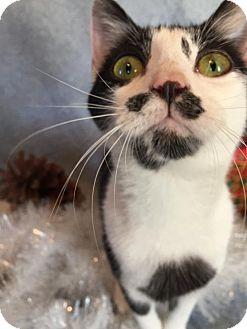 Domestic Shorthair Cat for adoption in Fredericksburg, Virginia - Katie Belle