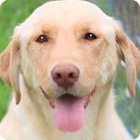 Adopt A Pet :: BLONDIE(GORGEOUS PB LAB! - Wakefield, RI