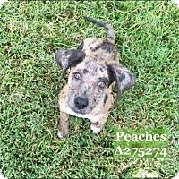 Adopt A Pet :: PEACHES - Conroe, TX