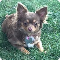 Adopt A Pet :: Layla - N. Babylon, NY