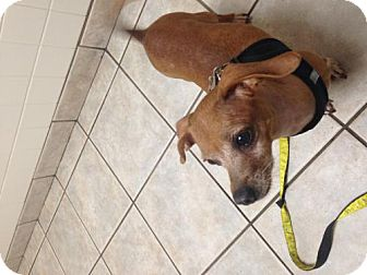 Chihuahua/Dachshund Mix Dog for adoption in Albany, New York - Lucy