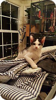 Domestic Shorthair Kitten for adoption in San Diego, California - ELVIS