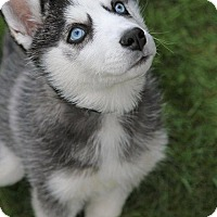 Siberian Husky Mix Puppy for adoption in Corriganville, Maryland - Fence