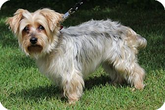 Yorkie, Yorkshire Terrier Dog for adoption in Portage, Wisconsin - Olivia