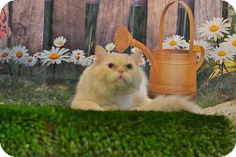Persian Cat for adoption in Lebanon, Missouri - Yogurt