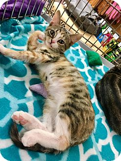 Domestic Shorthair Kitten for adoption in Franklin, Indiana - Bacall