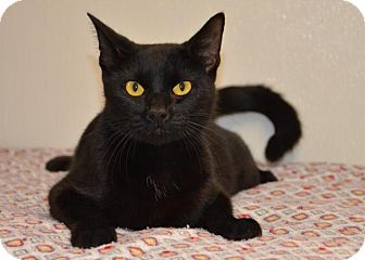Domestic Shorthair Cat for adoption in DuQuoin, Illinois - Sheba-adoption approved