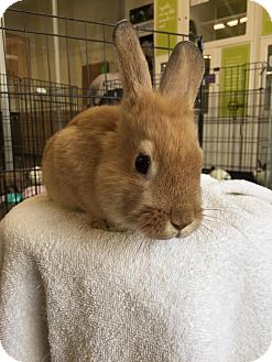 Lionhead Mix for adoption in Los Angeles, California - Lucas