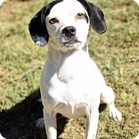 Adopt A Pet :: Oreo RH CP - Providence, RI