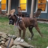 Boxer Dog for adoption in Wilmington, North Carolina - Jake