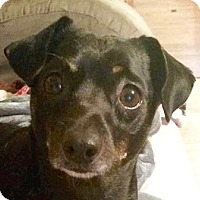 Adopt A Pet :: Mojo - Bloomington, IL