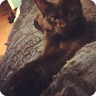 Domestic Shorthair Cat for adoption in Toronto, Ontario - Runa