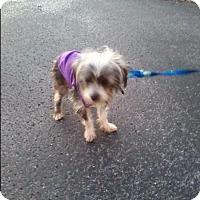 Adopt A Pet :: Skye - Spring Valley, NY