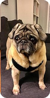 Pug Dog for adoption in Farmington, Michigan - Lady