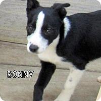Adopt A Pet :: Bonny (Puppy) - Lindsay, CA