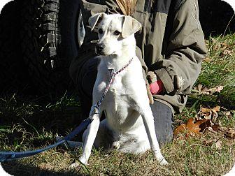 ... Puppy | Lawrenceburg, TN | Labrador Retriever/Jack Russell Terrier Mix