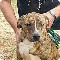 Adopt A Pet :: Rusty the pit mix - Blanchard, OK