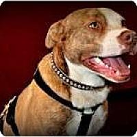 Adopt A Pet :: Dixon - Rowlett, TX