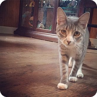 Domestic Shorthair Cat for adoption in Raleigh, North Carolina - Mimi