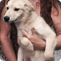 Adopt A Pet :: Powder Adoption pending - East Hartford, CT