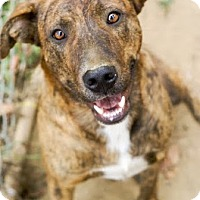 Mountain Cur Mix Dog for adoption in Franklin, Tennessee - Jessie