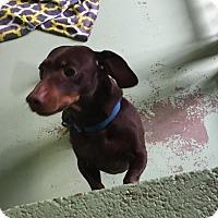 Adopt A Pet :: Bratwurst - Gadsden, AL