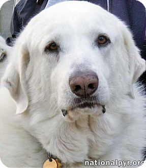 Great Pyrenees/Labrador Retriever Mix Dog for adoption in Beacon, New York - Sampson in CT - Special Needs