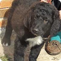 Adopt A Pet :: Hank / pup - adopted - Beacon, NY