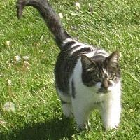 Domestic Shorthair Cat for adoption in Sistersville, West Virginia - Noel