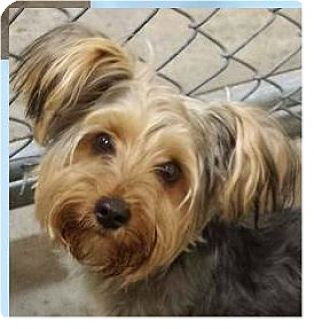 yorkie rescue arkansas springdale ar yorkie yorkshire terrier mix meet 2940