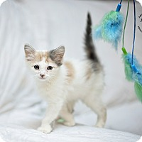 Adopt A Pet :: Prissy - Seattle, WA