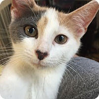 Domestic Shorthair Kitten for adoption in Akron, Ohio - Buttercup- Pending Adoption