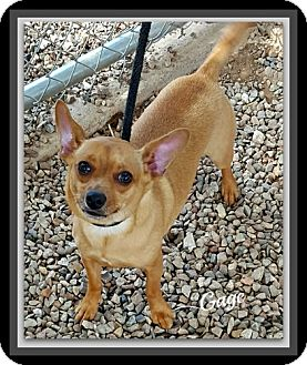 Chihuahua Mix Dog for adoption in Tombstone, Arizona - Gage