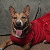 Bull Terrier/Cattle Dog Mix Dog for adoption in Smithtown, New York - Dinah