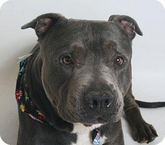 Pit Bull Terrier Mix Dog for adoption in Redding, California - Maverick