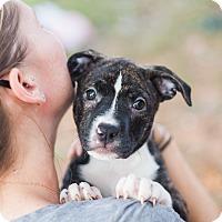 Adopt A Pet :: Punkin - Reisterstown, MD