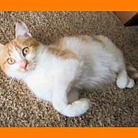 Adopt A Pet :: Kitten - Chipper - Euless, TX