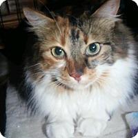 Calico Cat for adoption in Mesa, Arizona - PETUNIA